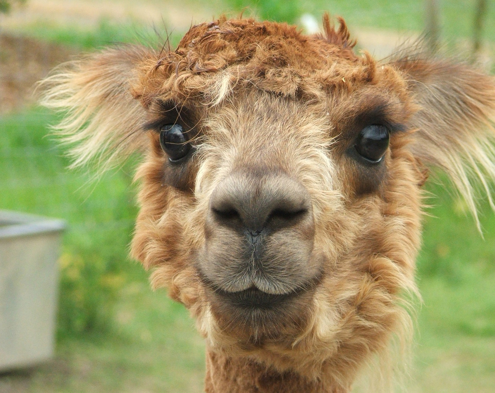 Happy Alpacca