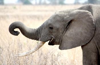ElephantTanzania