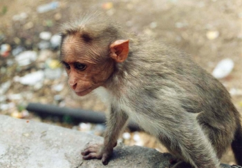 sally-annescrivener_naturalworld_monkey