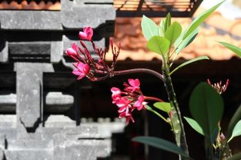 bali-flower
